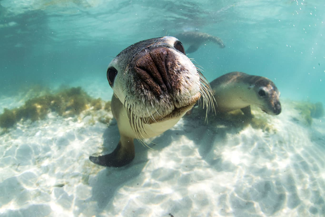 Sea lion, encountered on a tour in Jurien Bay