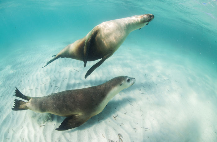 Two sea lions swimming in shallow water photographed during a tour